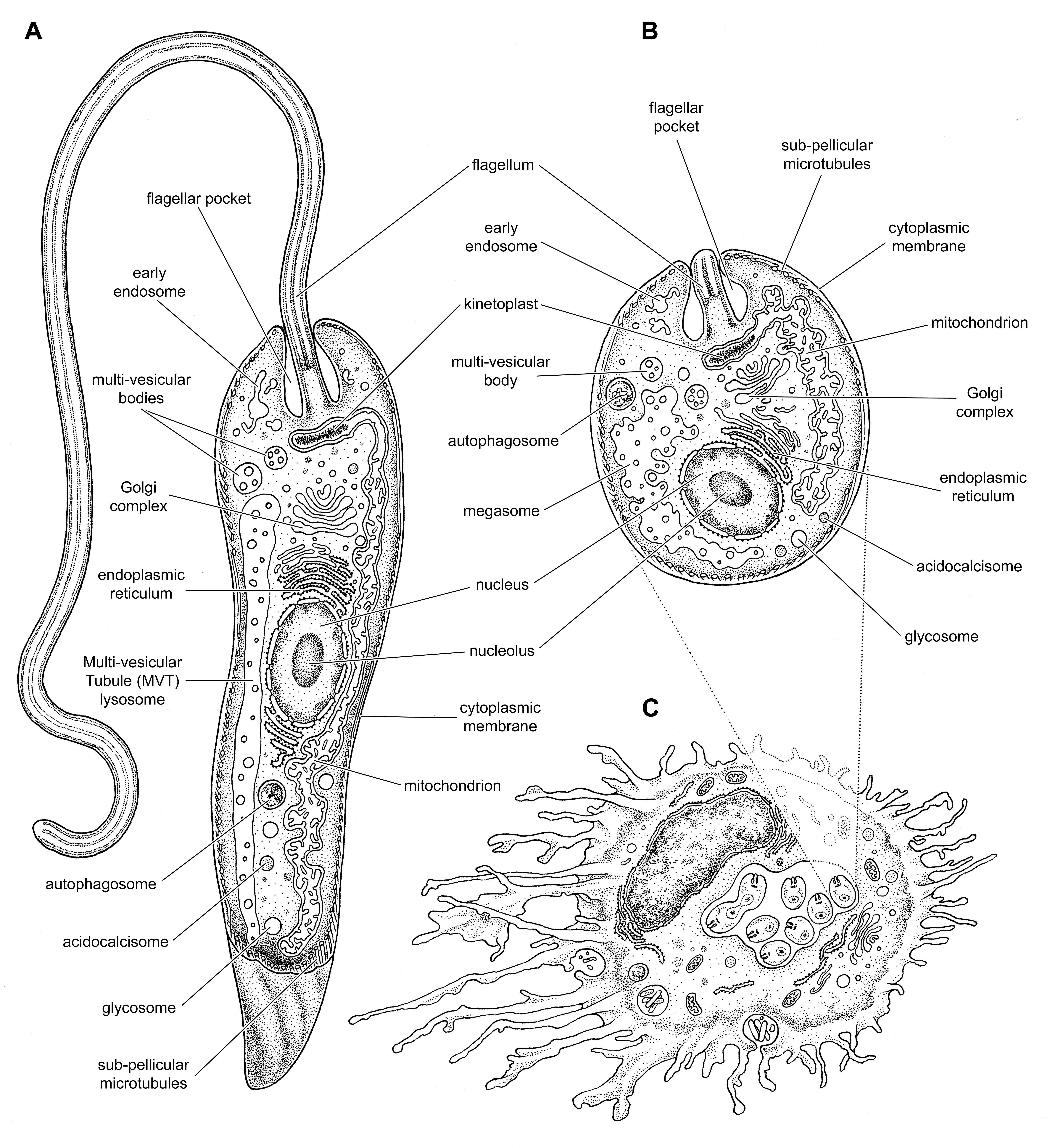 Molecular Parasitology